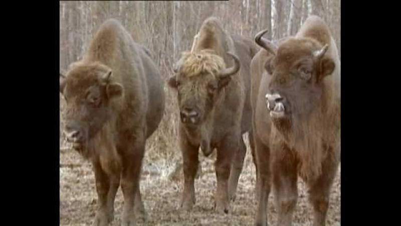 Зубр Яков Jakov bison named Animals in Chernobyl
