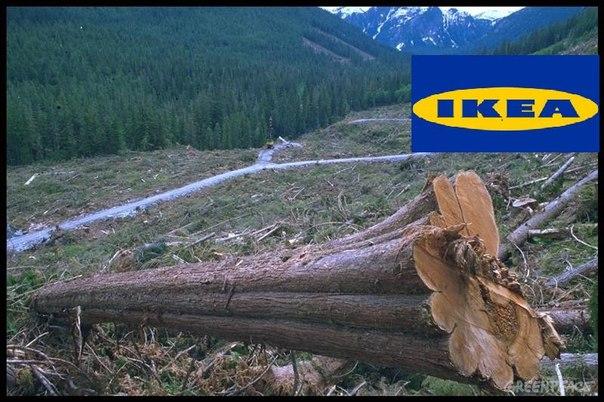 Истинная цена IKEA: вырубка реликтовых лесов