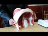Видео-урок  по анатомии . Мышцы спины и живота