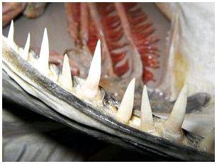 у щуки выпадают зубы