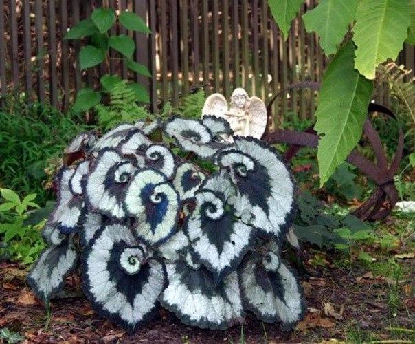 Бегония Escargot в саду