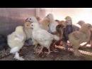 Правильное питание и содержание цыплят