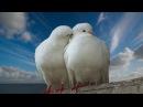 Поёт Валерий Сёмин. ОПУСТЕВШАЯ СИНЬ на музыку из фильма Любовь и голуби