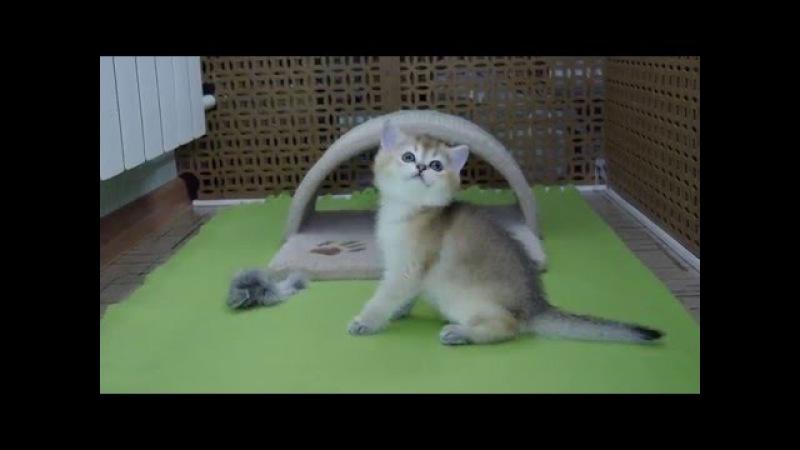 кошка Blossom Sazo KS