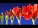 Stunning Blooming Flowers Relax Music 2 Hours Timelapse Color Therapy Sleep Music HD 1080P