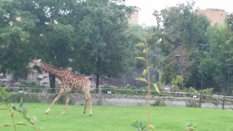 Жирафик - это, наверное, главная звезда Московского зоопарка😊