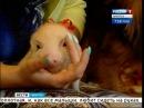 Микро-пиг Нюша живёт в семье иркутянки, Вести-Иркутск