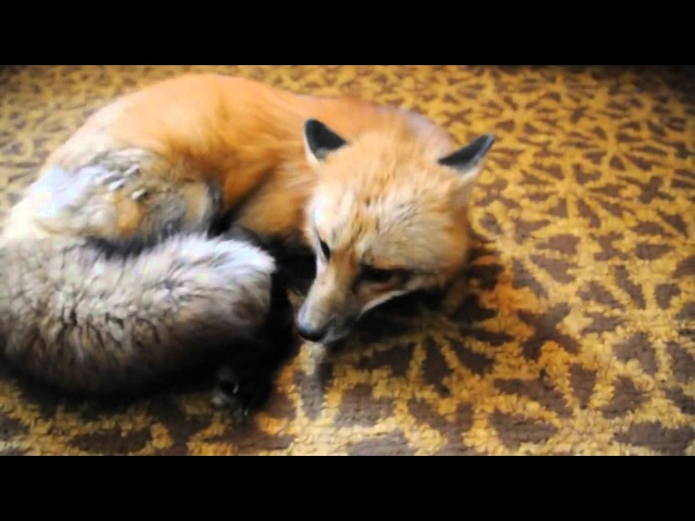 What kind of noises does a Fox