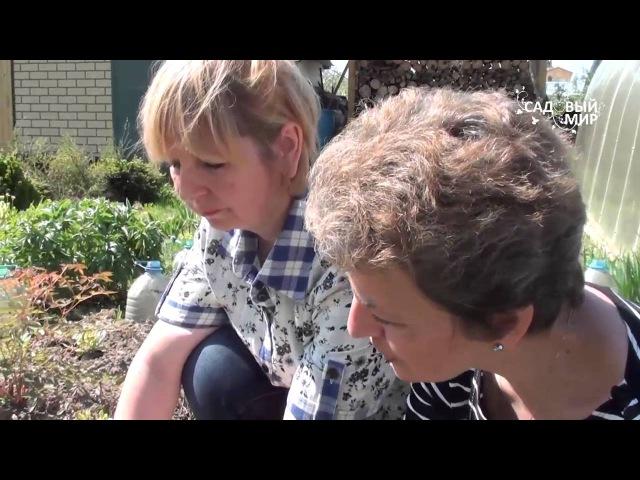 Подснежники в саду Пульсатилла прострел или сон трава