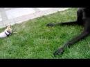 Chihuahua VS Great Dane in Winnipeg, MB Canada