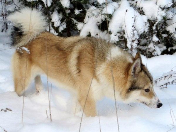 В Якутии пьяный садист пырнул ножом двух собак, находившихся на привязи