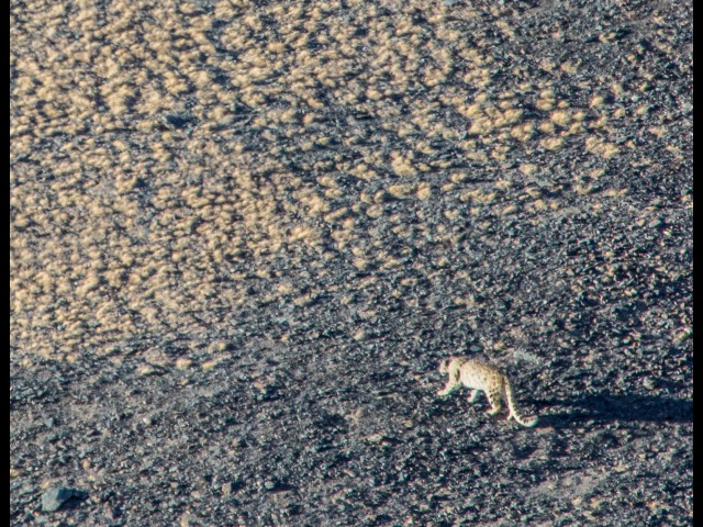 Алтай. Сайлюгемский парк. Снежный барс. Алтайский горный баран.