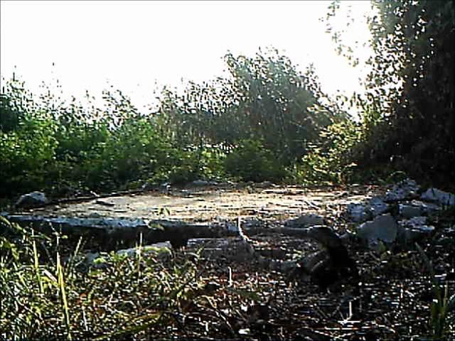 Оцелот охотится на игуан