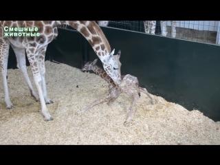 Первые шаги животных. Детёныши учатся ходить