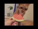Кот кушает арбуз