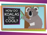 How Do Koalas Stay Cool Animal Science for Kids