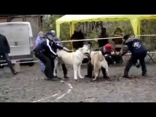 Alabai VS Kangal Dog