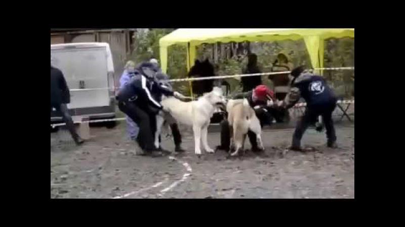 Alabai VS Kangal Dog