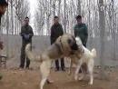 Кангал Vs Алабай Fighting Dogs Собачьи бои Kangal против Alabai