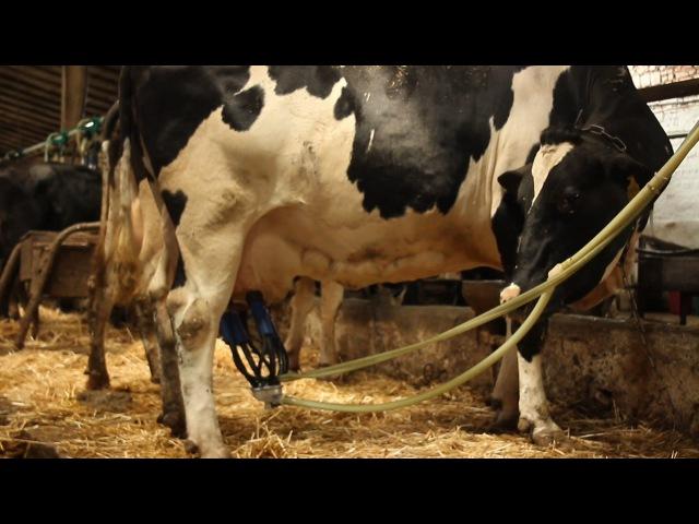 Правила доения коровы. Rules milking cows.