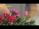 Как с засохшей розы сделать живой куст | Ранок з Україною
