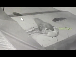 Wild animals hunting dog. Pit bull vs tiger. Leopard attack guard dogs. Mountain lion vs dog