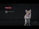 Вельш Корги – все о породе собаки – Purina Pro Plan Ukraine