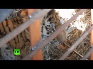 Второго за неделю истощенного тигренка спасли в Приморье