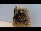Совёнок ушастой совы. Screech-owlet.
