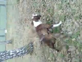 Собачьи бои стаффордширский терьер Бублик vs Ка де бо майорский бульдог Сэм