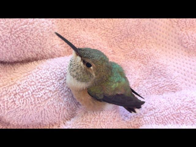 Baby Rufous Hummingbird