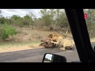 Львы на охоте.
