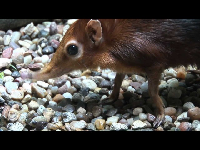 Giant Elephant Shrews