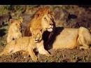 Путешествие по Африке Львы 1 Часть Познавательный фильм