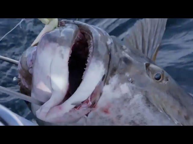 Рыбалка в Норвегии с blutbombette, рекордный палтус 195 кг.!