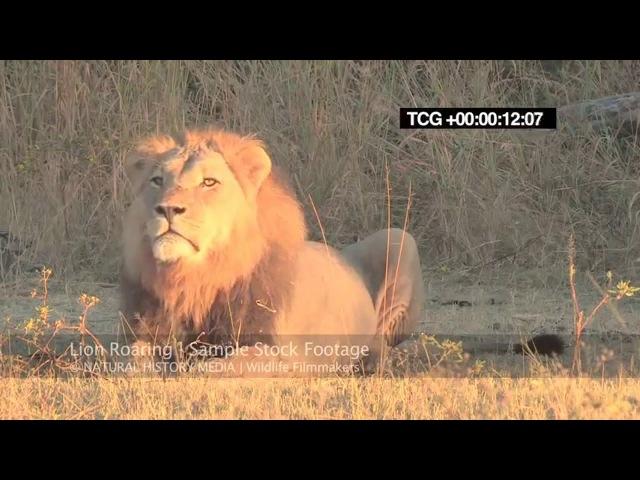 Lion roaring / Рык льва