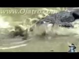 cocodrilo vs anaconda ¡IMPRESIONANTE!