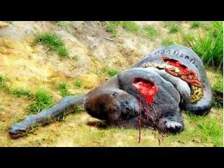Gorilla vs Anaconda Fight | Giant Anaconda Attacks Gorilla | Anidis