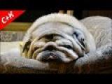 Мопс спит.