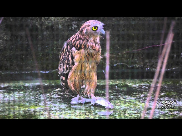 Buffy Fish Owl Swallows A Fish Whole