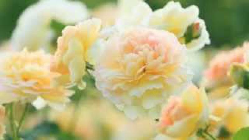 Белые розы надежды.
