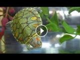 Красноухая черепаха морфы Pastel