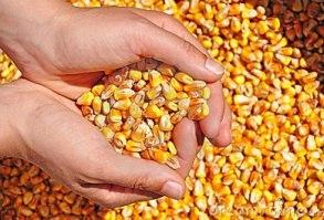 Жительница Исправной вывезла с территории агрофирмы почти 70 тонн кукурузы