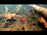 Анциструс . Подводные съёмки в Амазонке