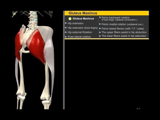 Большая ягодичная мышца Анатомия Упражнения Растягивание смотреть онлайн без регистрации