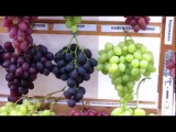 Республиканская выставка-ярмарка Янтарная гроздь винограда-2015 г. Пинска