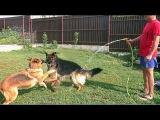 Собаки ловят воду. Dogs catch water. Немецкие Овчарки Дагир и Альма. Одесса.