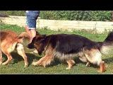 Что хотят собаки. That dogs want. Немецкие овчарки Дагир и Альма. Одесса.