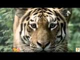 Дружба зла: Тигр Амур и козёл Тимур. Мнение экспертов. Новости сегодня 14/12/15
