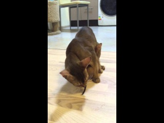 Abyssinian funny lunch